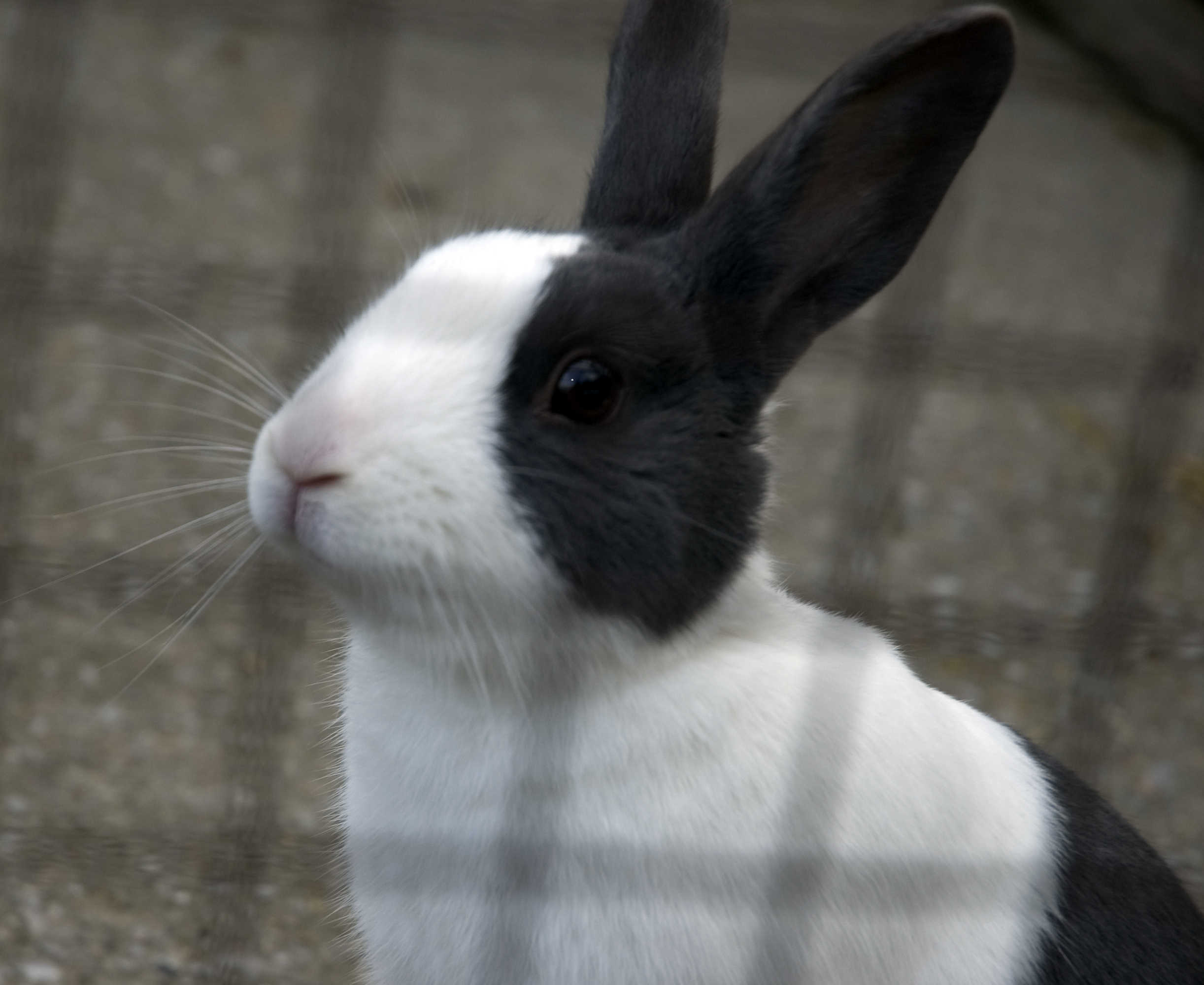 Looking after your pet rabbit