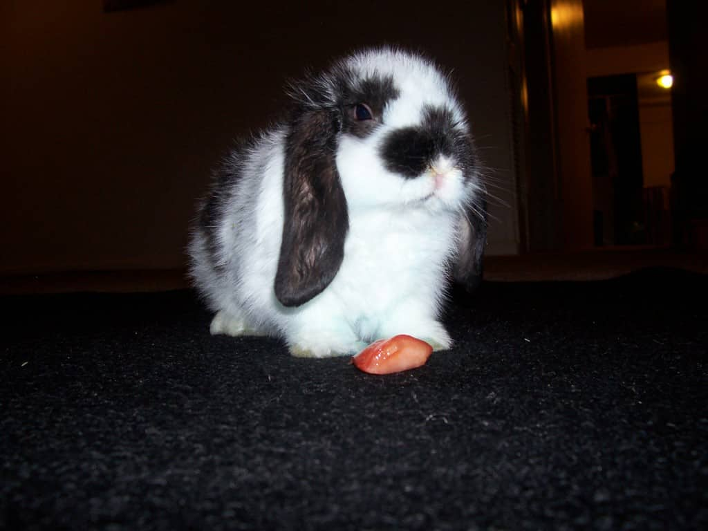 American Fuzzy Lop