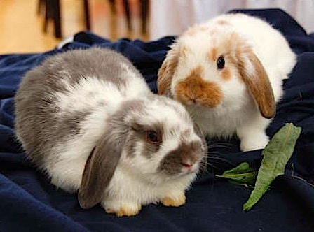 housing rabbits together