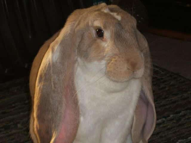English Lop Rabbit