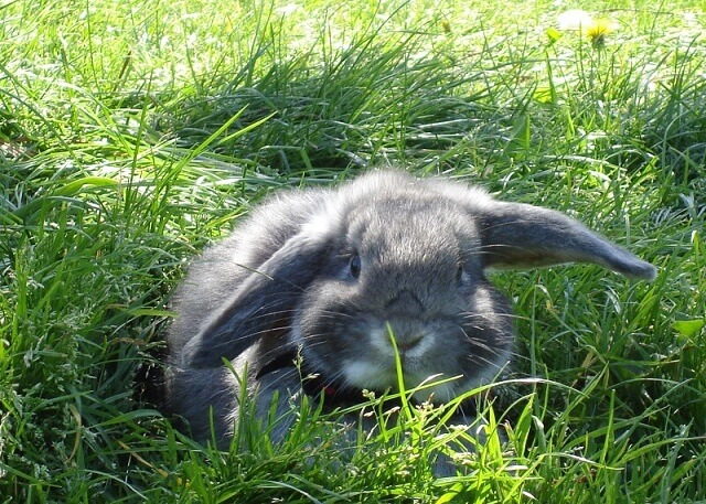 German Lop Rabbit