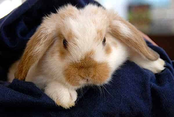The Holland Lop Rabbit