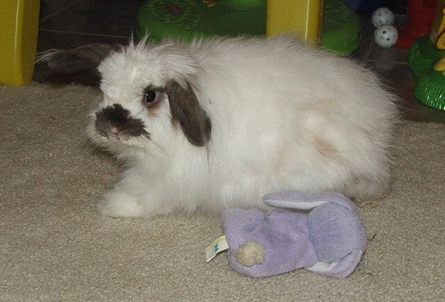 the american fuzzy lop rabbit