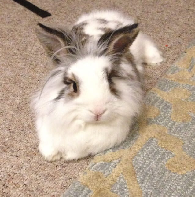 Bunny Trivia 9 Amazing Facts About Pet Rabbits: Lionhead Rabbit Facts