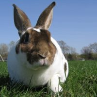 Rex Rabbit Facts and Information